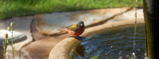 paintedbunting2.jpg
